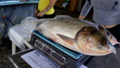 Foto de CIDADE. Feira do Peixe Vivo comercializa 93,4 toneladas de pescado durante cinco dias